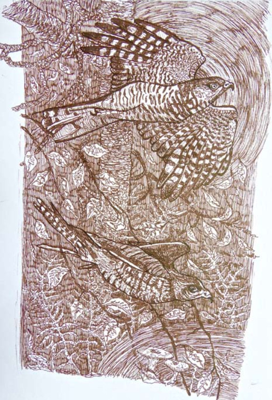 Sparrowhawks. Ink drawing by Vawdrey Taylor