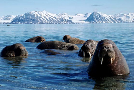 Svalbard walrus group. Photo: Kenny Taylor